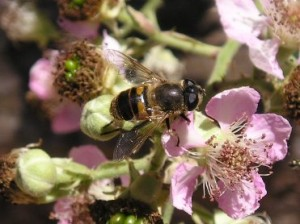 beegathering pollen from a flower